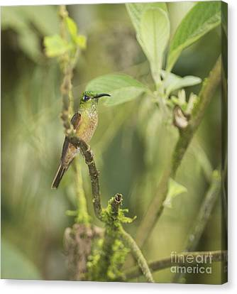 Fawn-breasted Brilliant Hummingbird Canvas Print