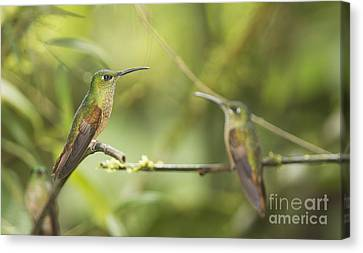 Fawn-breasted Brilliant Hummingbirds Canvas Print