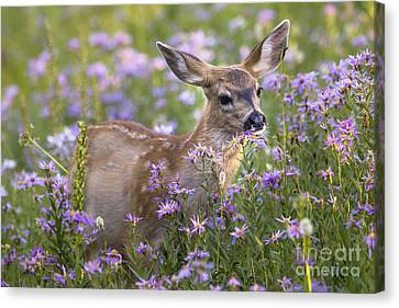 Fawn In Asters Canvas Print