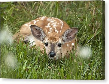Canvas Print featuring the photograph Fawn by Jeannette Hunt