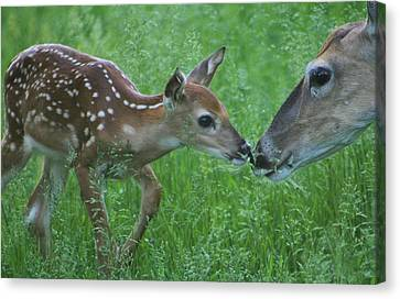 Fawn Kiss Canvas Print