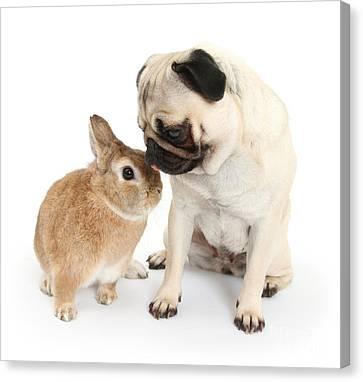 Fawn Pug With Netherland-cross Rabbit Canvas Print