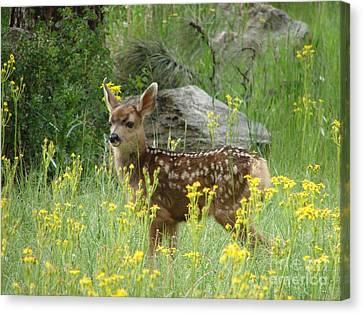 Fawn In Evergreen Colorado Canvas Print