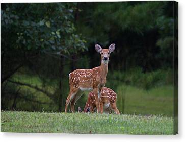Fawns Canvas Print