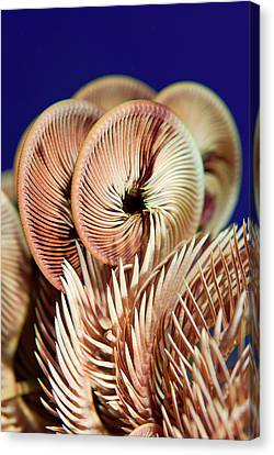 Feather Star Crinoid, Raja Ampat Canvas Print by Jaynes Gallery