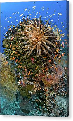 Feather Star (crinoidea Canvas Print by Jaynes Gallery
