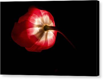Feathery Tulip Canvas Print by Andrew Soundarajan