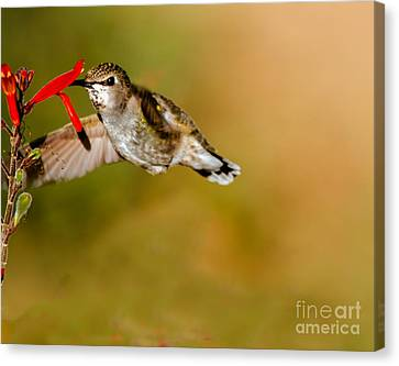 Feeding Anna's Hummingbird Canvas Print by Robert Bales