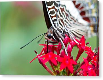 Canvas Print featuring the photograph Feeding Butterfly by John Hoey
