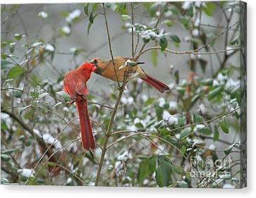Feeding Cardinals Canvas Print by Geraldine DeBoer