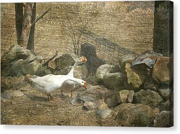 Feeding Geese   Canvas Print by Betty  Pauwels