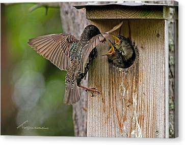 Feeding Starlings Canvas Print by Torbjorn Swenelius