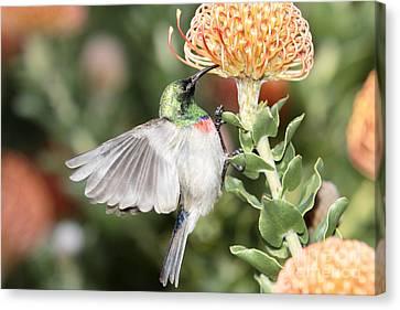 Feeding Sunbird Canvas Print