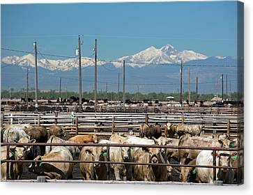 Feedlot Cattle Canvas Print