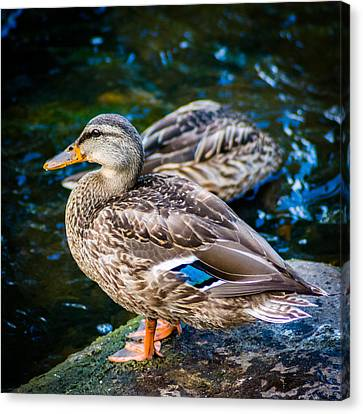 Feeling Just Ducky Canvas Print by Randy Scherkenbach