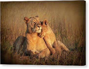 Lioness Canvas Print - Feline Family by Jaco Marx