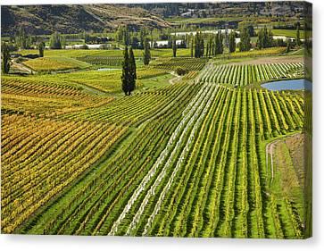 Felton Road Vineyard In Autumn Canvas Print