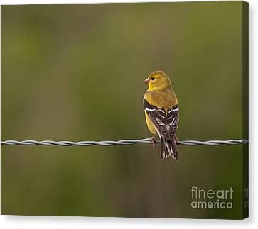 Female American Goldfinch Canvas Print by Douglas Stucky