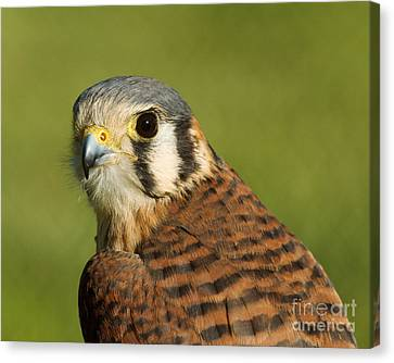 Canvas Print featuring the photograph female American Kestrel by Doug Herr