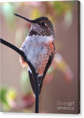 Female Anna Hummer Canvas Print by Chuck Flewelling