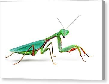Female Australian Giant Rainforest Mantis Canvas Print by Alex Hyde