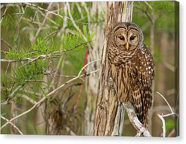 Female Barred Owl (strix Varia Canvas Print by Chuck Haney