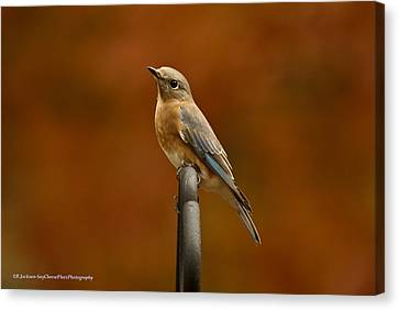 Canvas Print featuring the photograph Female Bluebird by Robert L Jackson