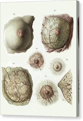 Female Breast Anatomy Canvas Print by Science Photo Library
