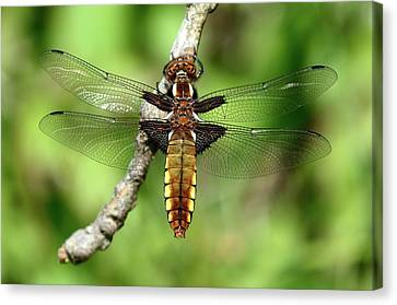 Female Broad-bodied Chaser Canvas Print by Colin Varndell