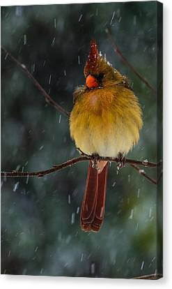 Female Cardinal In A Storm  Canvas Print by John Harding
