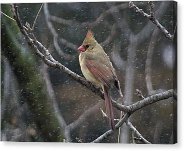 Female Cardinal In Snow 01 Canvas Print by Shelly Gunderson