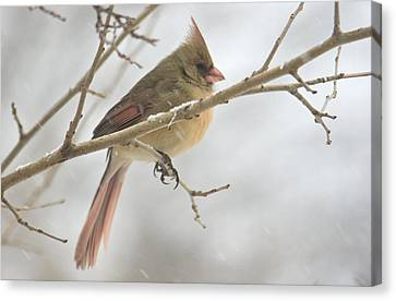 Female Cardinal In Snow 02 Canvas Print by Shelly Gunderson