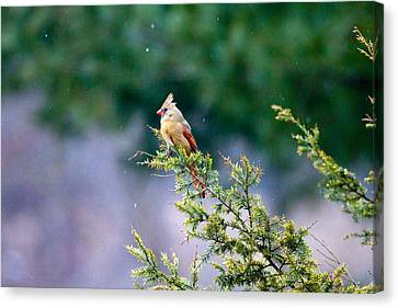 Canvas Print featuring the photograph Female Cardinal In Snow by Eleanor Abramson
