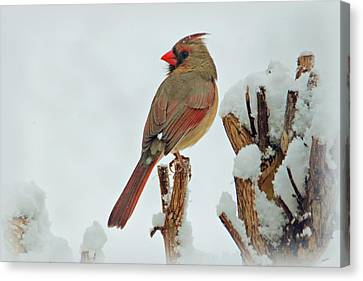 Female Cardinal In The Snow Canvas Print by Sandy Keeton