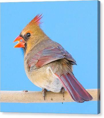 Female Cardinal  Canvas Print