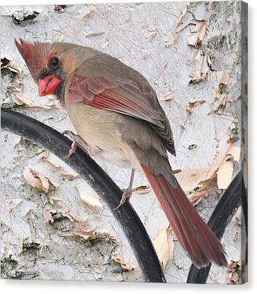 Female Cardinal Canvas Print by John Kunze