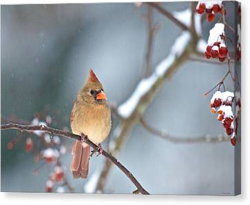 Female Cardinal On Cherry Tree In Snow Canvas Print