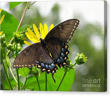 Canvas Print featuring the photograph Female Dark Form Swallowtail Butterfly  by Eva Kaufman