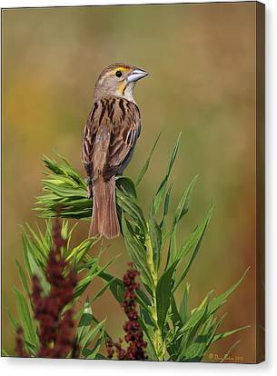 Female Dickcissel Canvas Print by Daniel Behm