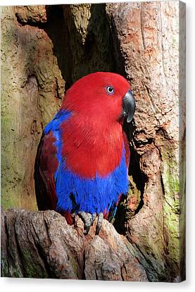 Female Eclectus Parrot Resting Canvas Print by Margaret Saheed