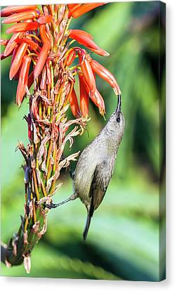 Female Greater Double-collared Sunbrid Canvas Print
