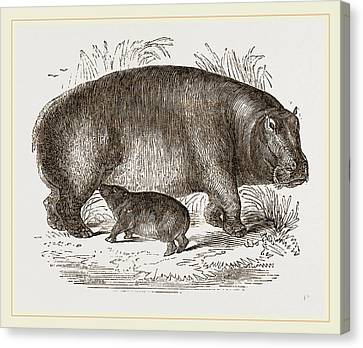 Female Hippopotamus And Young Canvas Print by Litz Collection