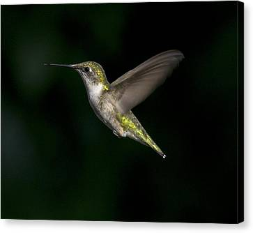 Female In Flight 4 Canvas Print by Eric Mace
