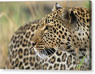 Female Leopard Portrait Masai Mara Canvas Print by Yva Momatiuk John Eastcott