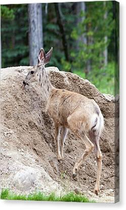Mule Deer Canvas Print - Female Mule Deer (odocoileus Hemionus) by Ashley Cooper