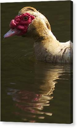 Female Muscovy Duck Canvas Print by Allan Morrison