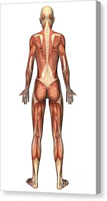 Female Muscular System, Back View Canvas Print by Stocktrek Images