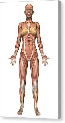 Female Muscular System, Front View Canvas Print by Stocktrek Images