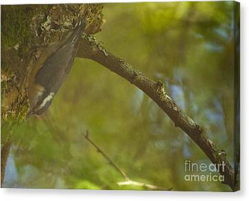 Female Nuthatch Canvas Print by Graham Foulkes
