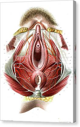 Female Perineum Canvas Print by Collection Abecasis
